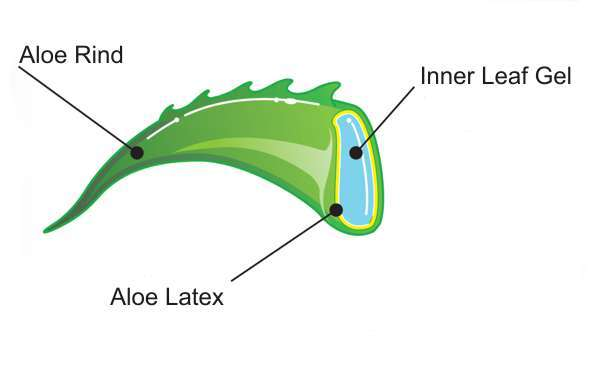 Aloe Vera Leaf Sections
